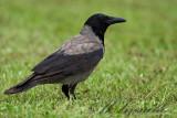 Cornàcchia grigia (Corvus corone)