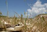 Cervone (Elaphe quatuorlineata)