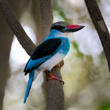 Blue Breasted Kingfisher