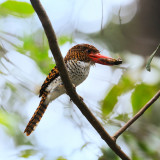 Banded Kingfisher female