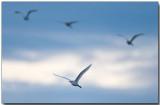 Egrets - First Light