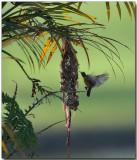 Olive-backed Sunbird Nest
