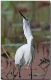 Little Egret - bird v. fish