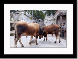 Cows Butting Head