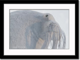 Walruss Snow Carving