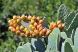 082 Cactus Fruit.jpg