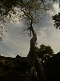 Ta Prohm tree.jpg