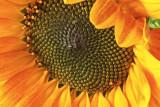 Sunflower 01 web.jpg