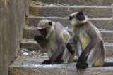Monkeys Mount Girnar.jpg