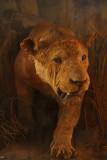 Mouldy stuffed lioness Bhuj.jpg