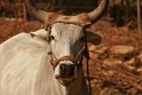 Kutch cow.jpg