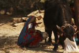Kutch milking cow 01.jpg