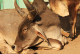 Patan cows.jpg