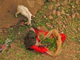Qat chewing goat