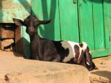 Content goat