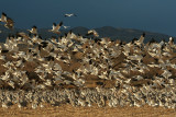 Snowgeese Fly By
