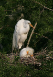 Great Egret - Three Young