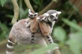 Lemur - Family of Three