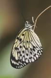 SGP_Butterfly_1067s.jpg