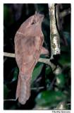 Frogmouth Profile-3065