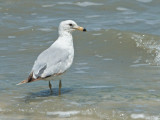 Gull Identification DSC_8052