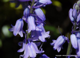 bluebells  after the rain