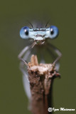 Libellule - Dragonflies