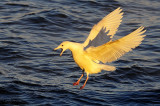 first-cycle Glaucous Gull