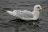 Iceland Gull- adult nominate glaucoides?