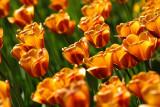 Keukenhof: Tulips until you fall
