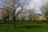 Apple trees in Haspengauw