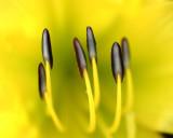 daylilly
