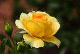 august rose