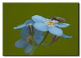 Insecte sur Myosotis