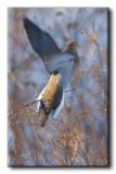 Tourterelle triste - Mourning Dove - Zenaida macroura