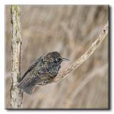 Étourneau sansonnet - Common Starling - Sturnus vulgaris
