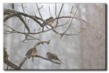 Tourterelles tristes - Mourning Dove - Zenaida macroura