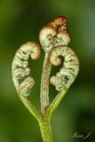 Pteridophyta - praprot (IMG_0660ok copy.jpg)