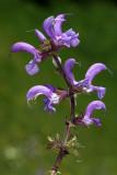 Salvia pratensis - travniška kadulja (IMG_2666ok copy.jpg)