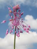 Allium carinatium - gredljasti luk (IMG_2964 ok copy.jpg)