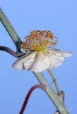 Kivi blossom - cvet kivija (IMG_3404ok copy.jpg)