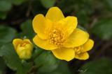 Caltha palustris - kalužnica (IMG_4438ok copy.jpg)
