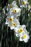 Narcissus - narcise (IMG_0113ok.jpg)