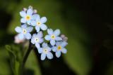 Myosotis arvensis - njivska spominèica (IMG_0494ok.jpg)