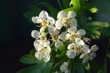 Crataegus laevigata blossom - glog (IMG_6349ok.jpg)