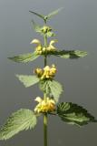 Lamium galeobdolon - rumena mrtva kopriva (IMG_2136ok.jpg)
