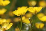 Ranunculus repens - zlatica (IMG_3313ok.jpg)