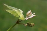 Grapevine - vinska trta (IMG_3785ok.jpg)