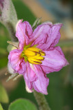 Solanum Melongea - melancana2.jpg