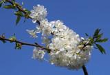 Cherry blossom (IMG_9841ok.jpg)